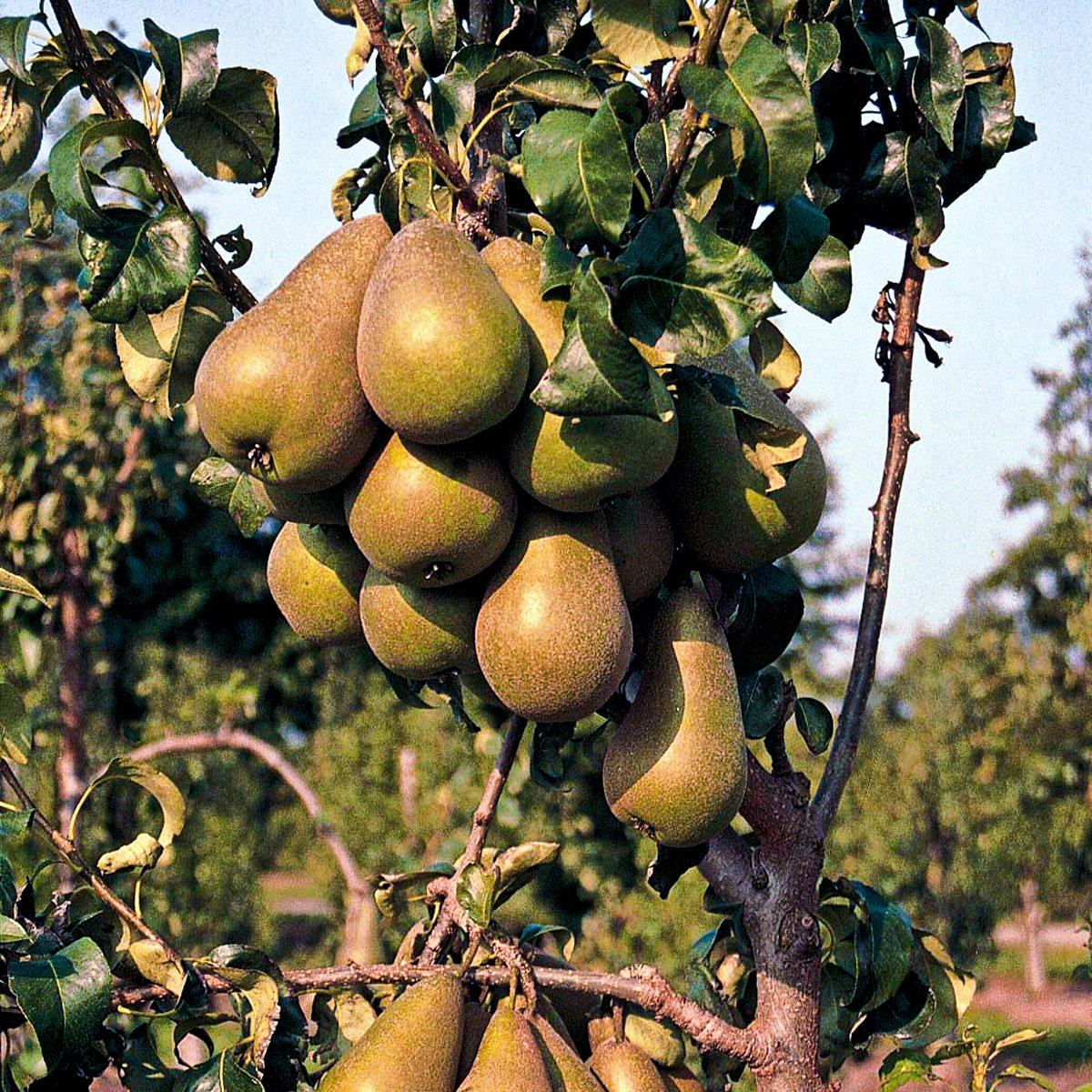 pear_tree_field_garden_branch_fruit1-2
